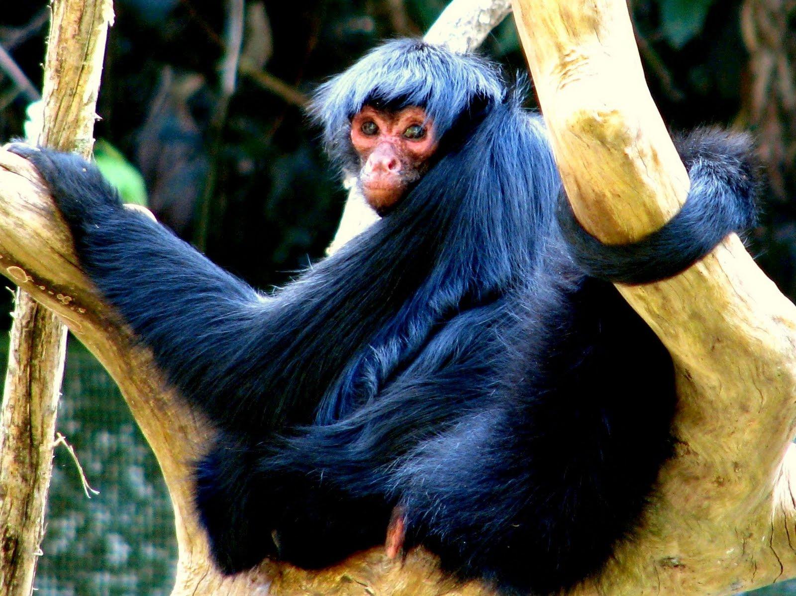 http://eyesoncolombia.files.wordpress.com/2010/06/ateles_paniscus_-brazil-8.jpg